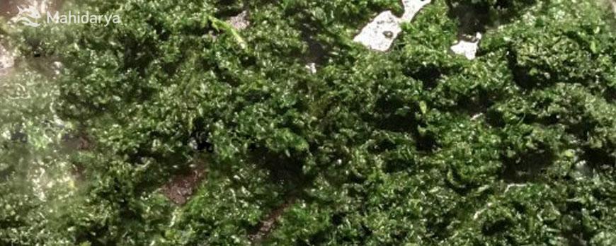 سبزی قلیه ماهی سرخ شدن در ماهیتابه