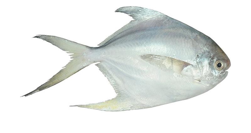 عکس ماهی سفید جنوبی