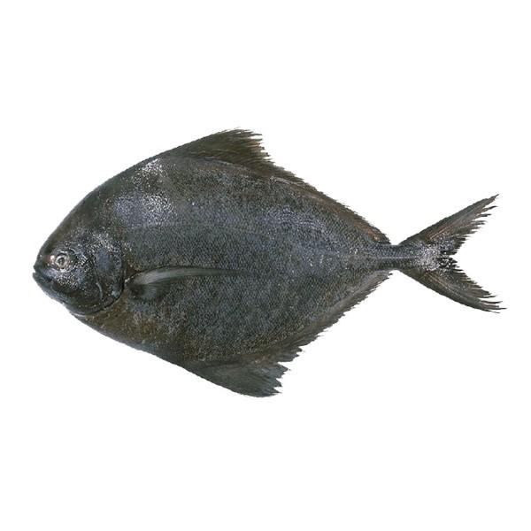 عکس ماهی حلوا سیاه
