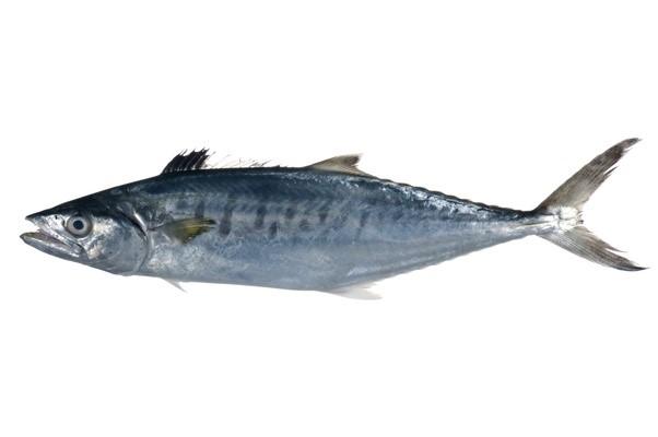 ماهی شیر یا چنعت