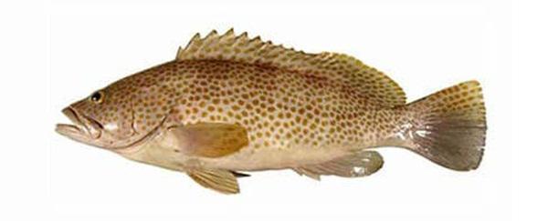 ماهی جنوب هامور